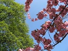 Also hat Gott die Welt geliebet (amras_de) Tags: baumblüte baum træ stablo boom árbol drvo arbre strom tree arbo puu zuhaitz crann fa arbore tré albero arbor medis koks tre drzewo árvore àrvulu drevo blüte flor cvijet kvet blomst flower floro õis lore kukka fleur bláth virág blóm fiore flos žiedas zieds bloem blome kwiat floare ciuri flouer cvet blomma frühling primavera proljece jaro forår spring printempo printemps earrach tavasz vor ver fréijoer pavasaris lente vår prima wiosna primavara ware jar pomlad
