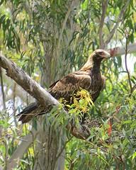 Aquila audax audax 4 (ftbirds) Tags: alum mountain bulahdelah nsw australia barry m ralley barrymralley aquila audax mainland wedgetailed eagle