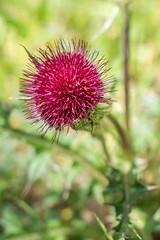 Thistle (agasfer) Tags: 2019 southcarolina sony a6000 plants flowers sonye1850oss greenville furman swanlake