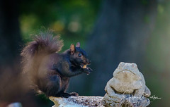 Squirrel-941292 (Jeffrey Balfus (thx for 5,000,000 views)) Tags: squirrel sonya9 ilce9 fe24240mmf3563oss sel24240
