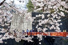 鶴ヶ城の桜 Cherry blossoms at Tsuruga Castle (ELCAN KE-7A) Tags: 日本 japan 福島 fukushima 会津若松 aizuwakamatsu 桜 サクラ cherry blossom 染井吉野 ペンタックス pentax k3ⅱ 2019