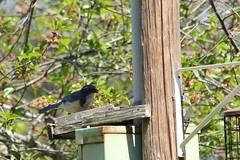 California Scrub Jay (hopping_jay) Tags: birds birdwatching birding birdphotography oregon josephinecounty southernoregon corvids jays californiascrubjay