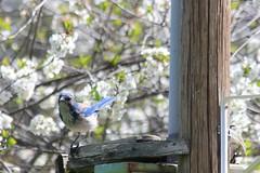 California Scrub Jay (hopping_jay) Tags: birds birdwatching birding birdphotography oregon southernoregon josephinecounty corvids jays californiascrubjay