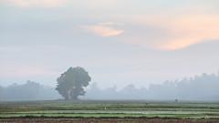 Misty Morning (Chamikajperera) Tags: sri lanka morning mist sunrise color canon landscape fineart subtle peacefull farmer paddy field lone tree