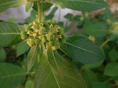 Euphorbia heterophylla L. Euphorbiaceae- Common spurge, หญ้ายาง (SierraSunrise) Tags: plants flowers green fruit euphorbiaceae euphorbia thailand phonphisai nongkhai isaan esarn weeds