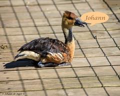 My name is... (Johann (Still Me!)) Tags: smileonsaturday mynameis johanndejager ef70300mmf456isusm canoneos5dmarkiv fulvouswhistlingduck duck