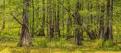 Cypress Swamp 2019-04 11 Panorama B (Jim Dollar) Tags: jimdollar breauxbridge louisiana la stmartinparish swamp cypressswamp cypresstrees
