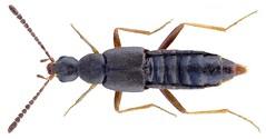 Tetralaucopora longitarsis (Erichson, 1837) Syn.: Parocyusa longitarsis (Erichson, 1837) (urjsa) Tags: coleoptera kaefer beetle insect staphylinidae tetralaucopora longitarsis tetralaucoporalongitarsis britain england taxonomy:binomial=tetralaucoporalongitarsis taxonomy:order=coleoptera taxonomy:family=staphylinidae taxonomy:genus=tetralaucopora taxonomy:species=longitarsis geo:country=england coleopteraus insekt parocyusalongitarsis parocyusa taxonomy:binomial=parocyusalongitarsis taxonomy:genus=parocyusa