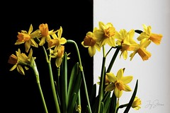 Contrast (joyhhs) Tags: daffodils flowers shadows contrast march 2018 uk canon indoors on1 photography
