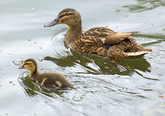 Mother and baby duck (Tony Worrall) Tags: bird duck duckling wild wildlife nature natural fowl canal wet water birds swim preston lancs lancashire city welovethenorth nw northwest north update place location uk england visit area attraction open stream tour country item greatbritain britain english british gb capture buy stock sell sale outside outdoors caught photo shoot shot picture captured ilobsterit instragram photosofpreston ashtononribble ashton