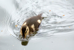 Cute duckling (Tony Worrall) Tags: bird duck duckling wild wildlife nature natural fowl canal wet water birds swim preston lancs lancashire city welovethenorth nw northwest north update place location uk england visit area attraction open stream tour country item greatbritain britain english british gb capture buy stock sell sale outside outdoors caught photo shoot shot picture captured ilobsterit instragram photosofpreston ashtononribble ashton