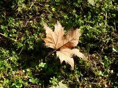 Disintegration (Jane Desforges) Tags: pixelate disintegrate autumn leaf