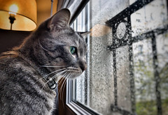 Chat devant la pluie. (jeromedelaunay) Tags: cloudly window rain lovecats gato catlife animal gatos catoftheday catlovers animals kittens pet cute love kitty kitten meow pets catlover cat cats