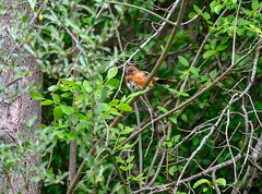 lady towhee at toilette (long.fanger) Tags: easterntowheepipiloerythrophthalmus may towhee woods