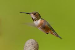 Rufous Hummingbird (Martin Dollenkamp) Tags: vancouverisland hummingbirds britishcolumbia birds canada rufoushummingbird nature selasphorusrufus