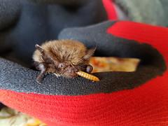 Poorly Whiskered Bat (ukmjk) Tags: bat care whiskered poorly mealworm