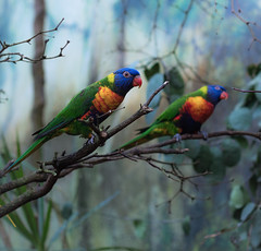 Colored parrots / Perroquets colorés (rs.Sophie) Tags: parrot perroquet oiseau printemps spring colourful vivid vividcolor couleursvives couleurvive bird colors softcolors