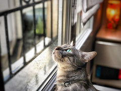 Chat devant la pluie. (jeromedelaunay) Tags: chats lovecats gato catlife animal gatos world catlovers animals kittens cute kitty kitten meow pet pets catlover cats pluie chat cat windows