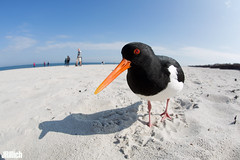 Eurasian Oystercatcher 2019 (Jan Rillich) Tags: jan rillich janrillich picture photo photography foto fotografie eos digital wildlife animal nature beautiful beauty sunny sun fauna flora free animalphotography fisheye sigma15mm fun sigmafisheyedg15mmf28 sigma15mmf28 exdgdiagonalfisheye wideangle weitwinkel funny helgoland heligoland northern sea northernsea nordsee insel düne sandstein image 2019 eastern spring küste nordseeküste sand dune april 5dmarkiii canon austernfischer haematopusostralegus eurasianoystercatcher commonpiedoystercatcher oystercatcher