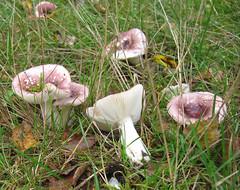 Paddenstoel (Anneke B) Tags: paddenstoel paddestoel mushroom