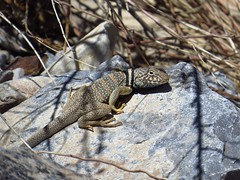 Great Basin collared lizard-red rock canyon nevada (gskipperii) Tags: nevada valleyoffire beautiful hiking outdoors hike nature scenic southwest desert animals animal wildlife reptile herps heretology