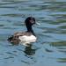 Tufted duck (M) Aythya fuligula