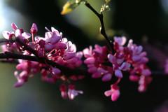 Redbud Blossoms (DJ Witty) Tags: redbud bloom spring rvp100 velvia fujichrome photography nikonf5