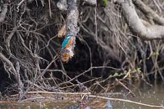 PILT4086 (ottmaasikas) Tags: jäälindalcedoatthiskingfisher kingfisher jäälind alcedo atthis