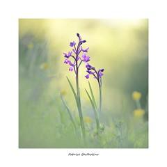 Orchis Laxiflora (bertholino fabrice) Tags: fabricebertholino orchidéesauvage orchislaxiflora carré nature proxy macro fleurs flowers environnement biodiversité printemps prairie sigma105macrooshsm nikond600