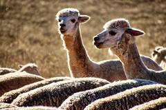 Counting sheep. (Ian Ramsay Photographics) Tags: cumnock newsouthwales australia insomnia counted sheep counting alpaca job tasking attributed