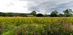Koolzaad (Meino NL) Tags: koolzaad yellow landscape landschap costabrava spain catalunya flowers malva kaasjeskruid spring voorjaar lente
