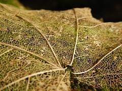 Leaf skeleton (lou_wag) Tags: closeup latticepattern nature natural tree organic winter woodland decomposed skeleton leaf