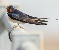 Swallow (waynehavenhand1) Tags: wildlife nature scotland morayfirth blackisle harbour avoch bird swallow