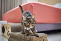 A9__DSC0004_C1 (Bazoka+Cynthia) Tags: cat 小婆 新北市 樹林區 貓 鼻孔