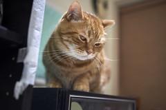 A9__DSC0014_C1 (Bazoka+Cynthia) Tags: alpha cat 小婆 新北市 樹林區 貓
