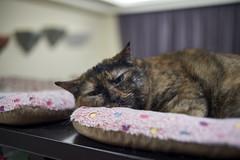 A9__DSC0011_C1 (Bazoka+Cynthia) Tags: cat hani 小婆 新北市 樹林區 貓