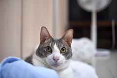 A9__DSC0005_C1 (Bazoka+Cynthia) Tags: cat 宇彬 小婆 新北市 樹林區 貓
