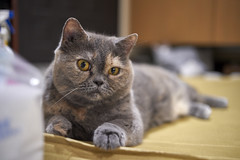 A9__DSC0051_C1 (Bazoka+Cynthia) Tags: cat oni 小婆 新北市 樹林區 貓