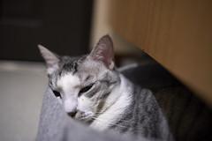 A9__DSC0046_C1 (Bazoka+Cynthia) Tags: cat 小婆 新北市 樹林區 空空 貓