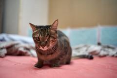 A9__DSC0044_C1 (Bazoka+Cynthia) Tags: cat 小婆 新北市 樹林區 貓 鼻孔