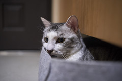 A9__DSC0035_C1 (Bazoka+Cynthia) Tags: cat 小婆 新北市 樹林區 空空 貓