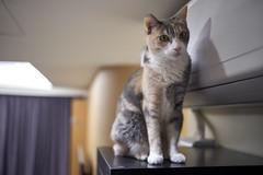 A9__DSC0032_C1 (Bazoka+Cynthia) Tags: cat pupu 小婆 新北市 樹林區 貓