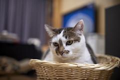 A9__DSC0023_C1 (Bazoka+Cynthia) Tags: cat 塞奈 小婆 新北市 樹林區 貓