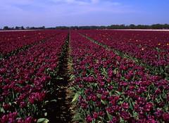 Sea of flowers (Ernst-Jan de Vries) Tags: