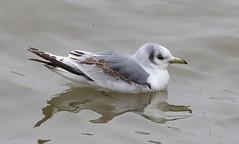 Black-legged Kittiwake (Rissa tridactyla) (Gavin Edmondstone) Tags: rissatridactyla blackleggedkittiwake gull kittiwake bird lakeontario spring may bronte oakville ontario