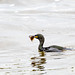 Cormorant after surfacing with a Flat Fish in Aberdeen Harbour..