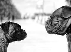 Face Off (Steve Lundqvist) Tags: dog dogs cani cane animal animals animali dogue mastiff neapolitan pitbull terrier bulldog wild pushy aggressive belligerant forceful hostile violent bold eyes impetuous allaperto perro hund mustiff mastino animale pet bianco nero monocromo ritratto disegno domestico