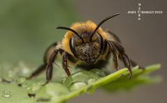 Mining Bee (John Chorley) Tags: macrounlimited bee miningbee solitarybee garden 2019 nature outdoors macro macrophotography macros johnchorley