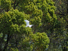 Great egret (Ardea alba, ダイサギ) (Greg Peterson in Japan) Tags: japan 滋賀県 ritto 野鳥 shiga wildlife egretsandherons birds ダイサギ shigaprefecture