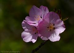 Every society honors its live conformists.... (itucker, thanks for 5+ million views!) Tags: macro bokeh prunus cherry blossom cherryblossom dukegardens coth5